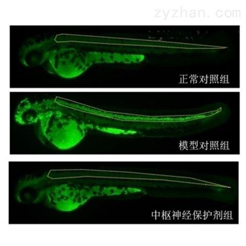 利用斑马鱼模型评价中枢神经保护作用
