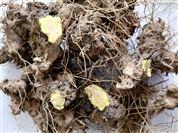 黄姜提取物薯蓣皂素